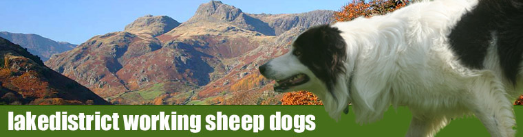 Lake District Working Sheep Dogs